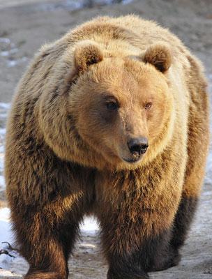 kenőcs medve ízületekre)
