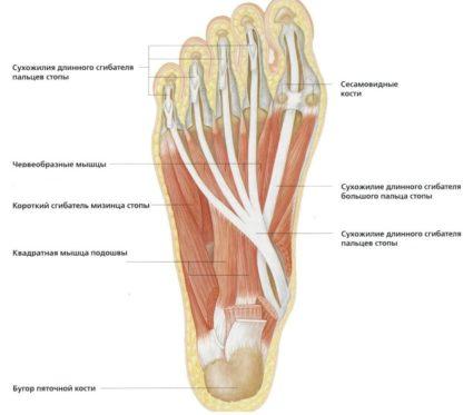 a láb metatarsális ízületeinek gyulladása mágus 3 ízületi kezelés