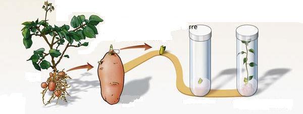 A tarlóburgonya termesztése
