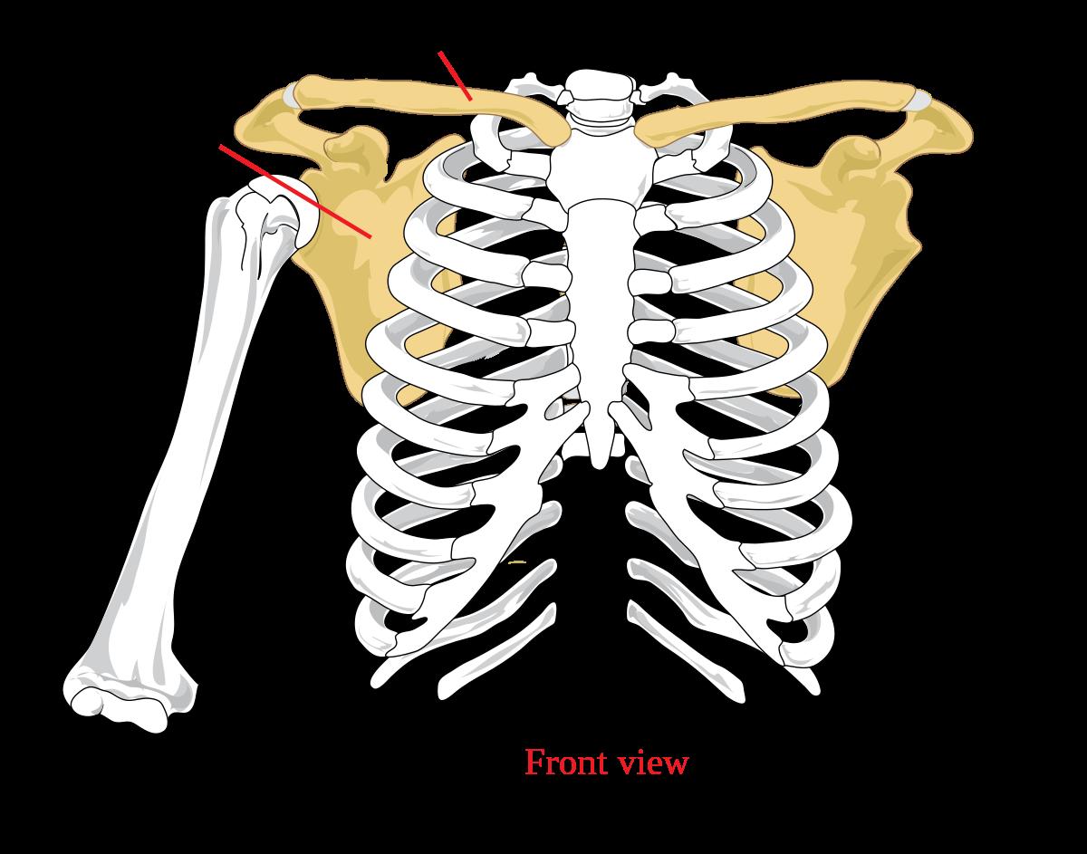 szegycsont clavicularis ízületi betegség)