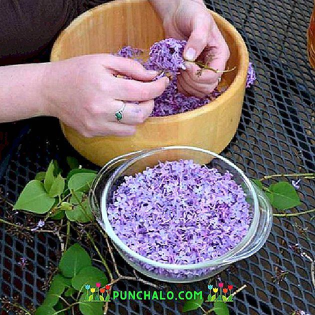 Lila — egy illatos növény betegségek kezelésére, ízületi