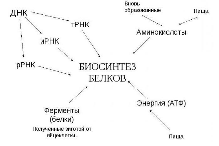 porc helyreállítási aminosavak)